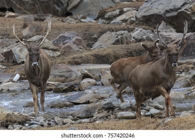 White-Lipped Deers (Przewalskium albirostris or Thorold Deer) in a mountainous Tibetan Area, China