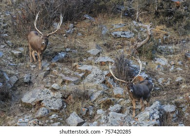 White-Lipped Deers (Przewalskium albirostris or Thorold Deer) in a mountainous Tibetan Area, China