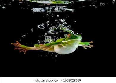 Whitelipped frog in the water, swimming frog, Whitelipped frog swimming
