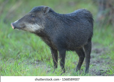 White-lipped Peccary (Tayassu pecari) Adult in the wetlands of Baia das Pedras in the Pantanl, Brazil, South America.