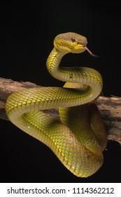 The white-lipped pit viper (Trimeresurus albolabris) is a venomous pit viper species endemic to Southeast Asia.