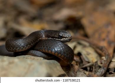 White-lipped snake (Drysdalia coronoides). A small elapid which is one of three species of snake found in Tasmania, Australia.