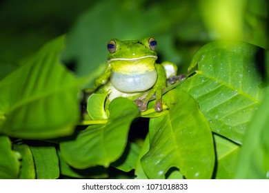 White-lipped tree frog (Litoria infrafrenata) croaking at night, this is the bigger tree frog in the world, Aru islands, Papoua, Indonesia
