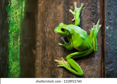 White-lipped Tree Frog on brown and green wooden background.