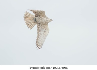 White-morphed Gyrfalcon flying across an overcast sky. Toronto, Ontario, Canada.