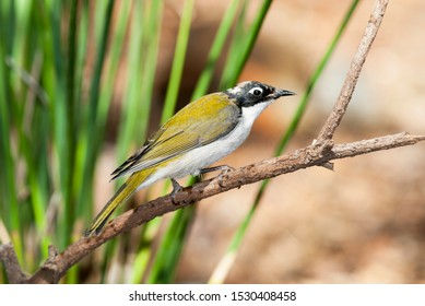 The white-nape honey eater is a passerine bird of the honey-eater family, this one is in the Murchison goldfields, Western  Australia.  Birds from the south west are shown to be a different species.