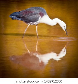 White-necked Heron looks for fish in the morning glow. Pacific Heron is reflected in the calm waters of a lake in Western Australia.