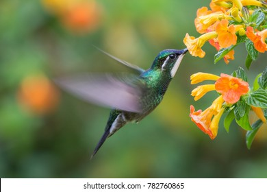 White-necked Jacobin (Florisuga mellivora) - hummingbird in Panama