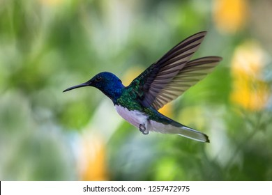 White-necked jacobin hovering in the air, caribean tropical forest, Trinidad and Tobago, bird on colorful clear background,beautiful hummingbird with white belly and blue head in flight