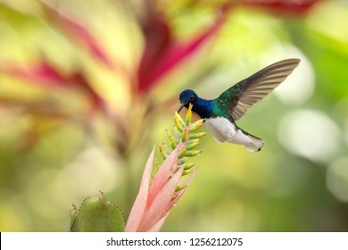 White-necked jacobin hovering next to pink and yellow flower, bird in flight, caribean tropical forest, Trinidad and Tobago, natural habitat, beautiful hummingbird sucking nectar, colouful background