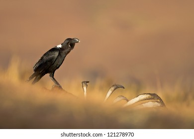 Whitenecked raven on a carcass, Kwazulu Natal, South Africa.