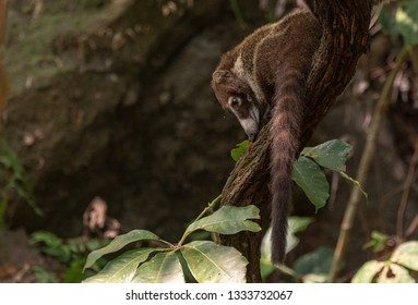 A White-nosed Coati Briefly Poses on a Tree Branch