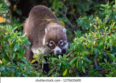 White-nosed Coati at Cave Creek Ranch in Arizona.