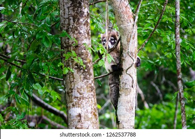 White-nosed coati climbing a tree of the Calakmul biospere reserve in the jungle of Campeche in Mexico