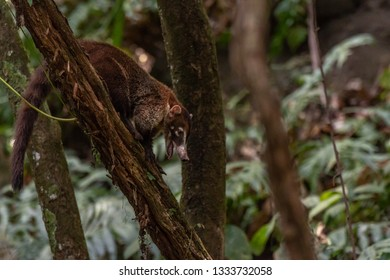A White-nosed Coati in the Costa Rica Jungle