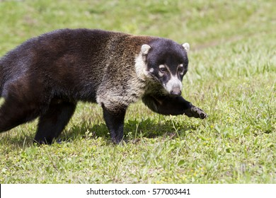 White-nosed coati, Costa-Rica