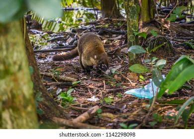 White-nosed Coati, Nasua narica, adult walking, Central Valley, Costa Rica