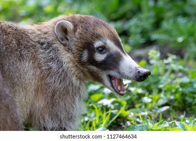 White-nosed coati (Nasua narica) or coatimundi with open mouth and naked fangs with blurred green grass on the background.