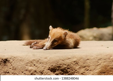The white-nosed coati (Nasua narica), also known as the coatimundi is a species of coati and a member of the family Procyonidae.