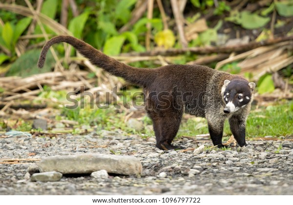White-nosed coati (Nasua narica), also known as the coatimundi. Inhabit wooded areas (dry and moist forests) of the Americas. Taken in Costa Rica