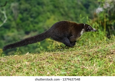 white-nosed coati, Nasua narica, running in the forest in Costa Rica
