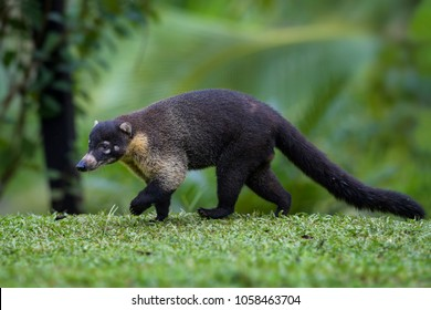 White-nosed Coati - Nasua narica, small common white nosed carnivore from Costa Rica forest.