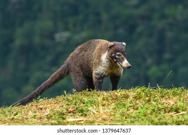 white-nosed coati, Nasua narica, standing in the forest in Costa Rica
