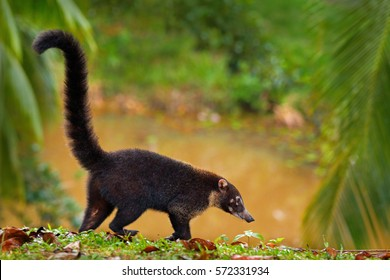 White-nosed Coati, Nasua narica, walking around river in National Park Manuel Antonio, Costa Rica. Animal in the forest. Mammal with long tail in the nature habitat.