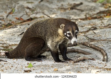 A white-nosed Coati on a Costa Rican beach - a member of the racoon family. (Nasua Narica)