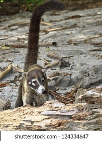 A white-nosed Coati on a Costa Rican beach with a long tail - a member of the racoon family. (Nasua Narica)