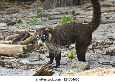 A white-nosed Coati on Egg Beach in Costa Rica - a member of the racoon family. (Nasua Narica)