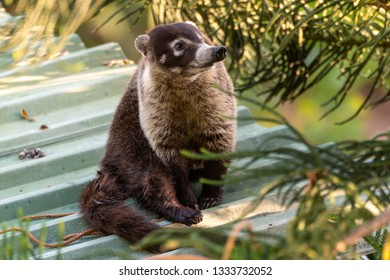 A White-nosed Coati on a Rooftop
