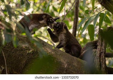 A White-nosed Coati Siblings Playing in the Treetops