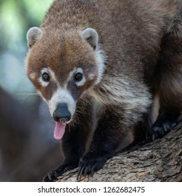 A white-nosed coati with a snot bubble and tongue sticking out. Cave Creek Canyon, southern Arizona.