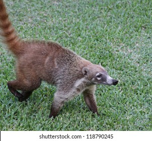 A White-nosed Coatis (Nasua narica) foraging just outside the jungle.  Shot in the Yucatan peninsula, Mexico.