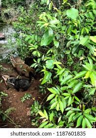 White-Nosed Coati's in South America