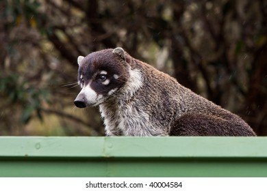 White-nosed goati animal sitting in a gutter