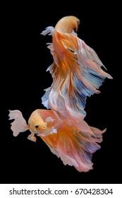 White-orange fighting fish swim beautifully, like a dripping underwater