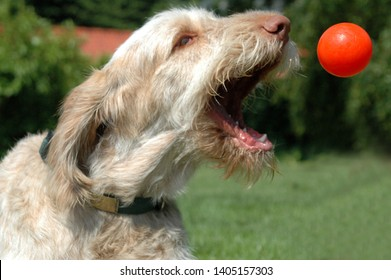White-orange spinone dog graps a flying orange ball thrown from a flyball machine