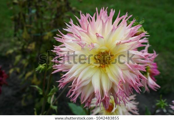 White-pink dahlia flower in garden