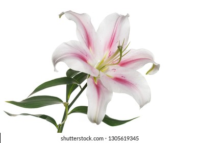 White-pink lily flower isolated on white background.
