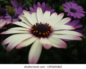 White-purple African Daisy flower close up 2019
