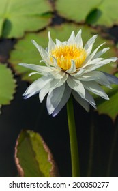 A white-purple lotus with its pollen