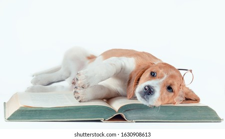white-red-haired puppy with long ears reads a large paper book