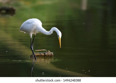 a white-robed for food at the lake