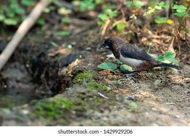 White-rumped munia bird standing on ground next to a puddle of water, Nam Kham Nature Reserve,Thailand. A thirsty bird