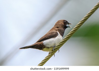 A white-rumped munia (Lonchura striata) / white-rumped mannikin /striated finch perched on cable