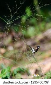 White-rumped Munia (Lonchura striata) perching on a branch ,Chiang Mai, Thailand.