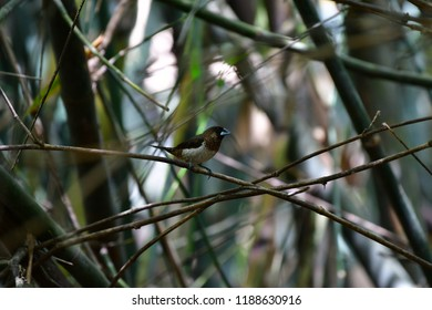 """White-rumped munia or white-rumped mannikin (Lonchura striata), sometimes called striated finch in aviculture, is a small passerine bird from the family of waxbill """"finches"""" ,bird on bamaoo in Thai."""