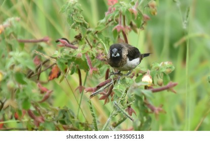 The white-rumped munia or white-rumped mannikin (Lonchura striata), sometimes called striated finch in aviculture, is a small passerine bird from the family.  Captured at Cameron Highlands Pahang.